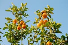 Фото апельсины на Кипре